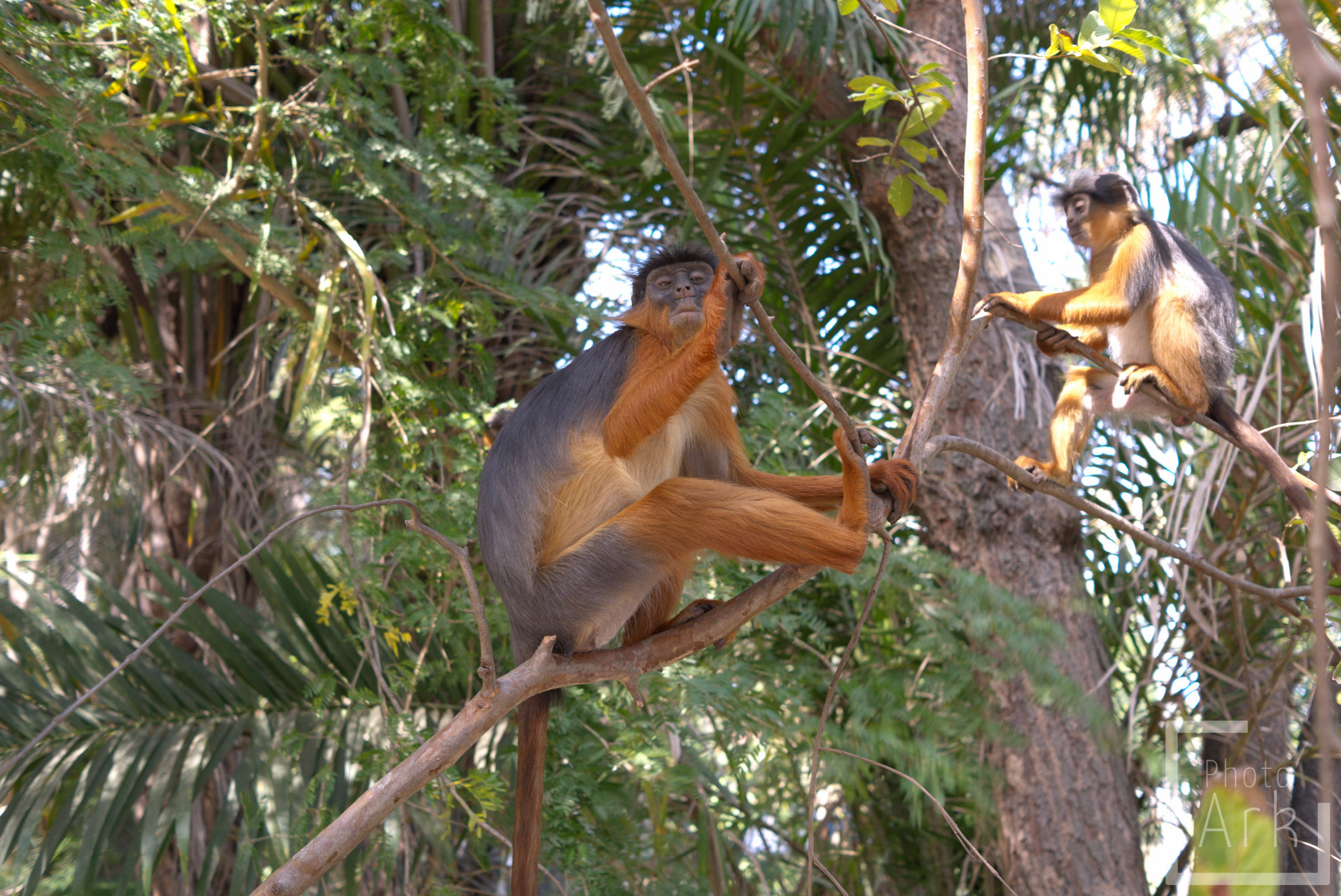 The Gambia Red Colobus